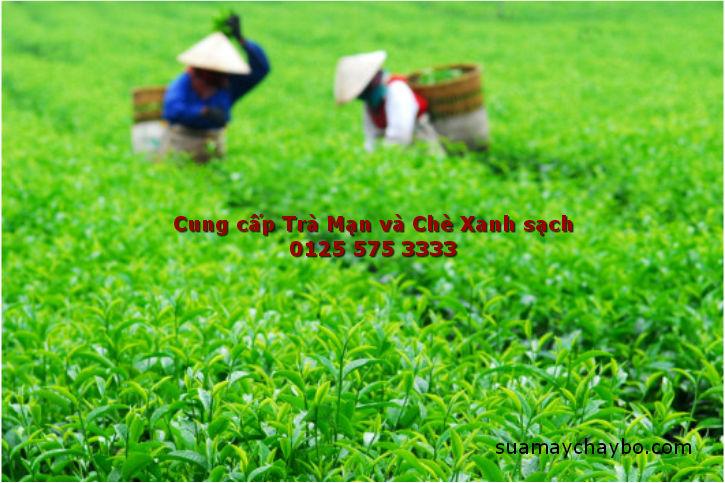 Cách nhận biết và chọn mua lá chè xanh tươi ngon
